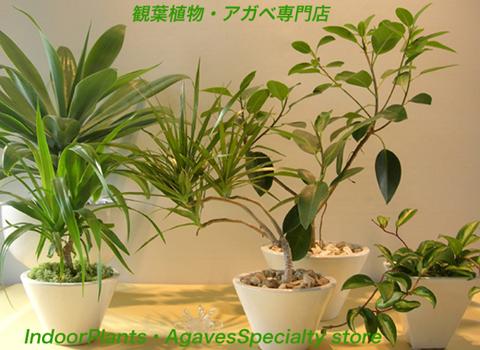 観葉植物アガペ販売専門店エドプランツ