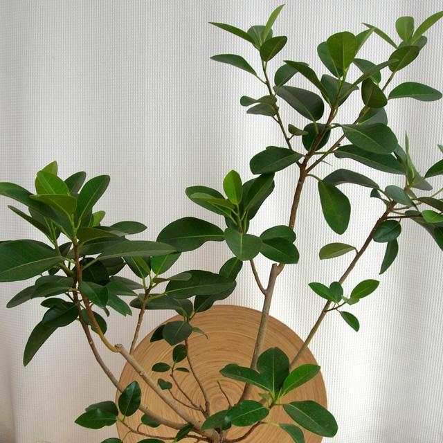 フランスゴム 観葉植物通販・販売