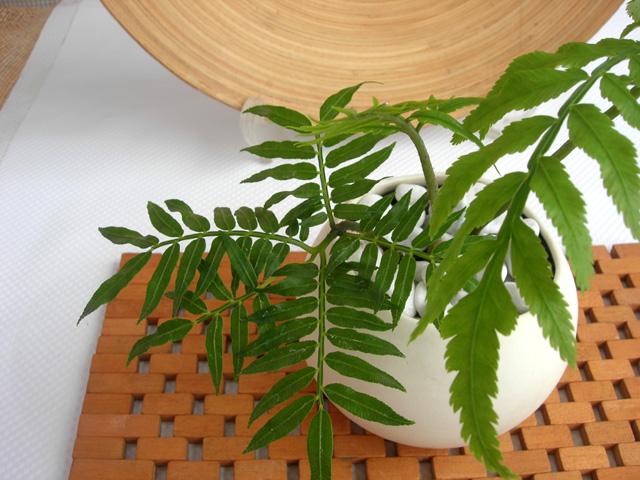 リュウビンタイ セラミック観葉植物通販・販売
